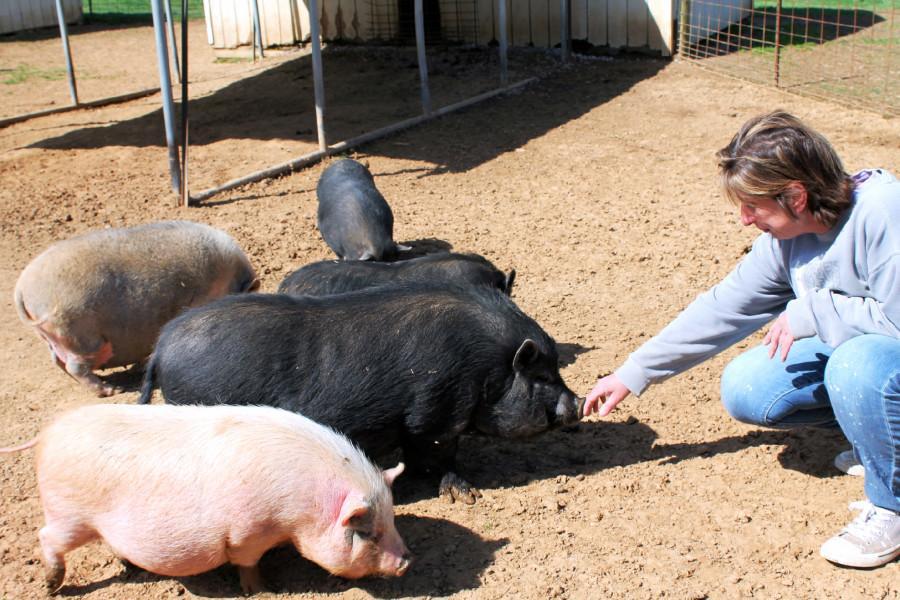 PIGS animal sanctuary of Shepherdstown in need of spring season volunteers